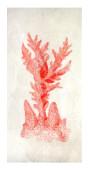 Coral rojo II